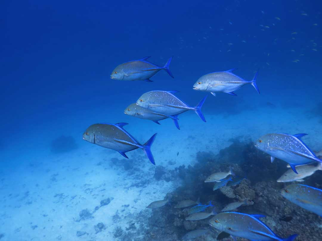 School of Bluefin Trevally at the Koh Tachai dive site