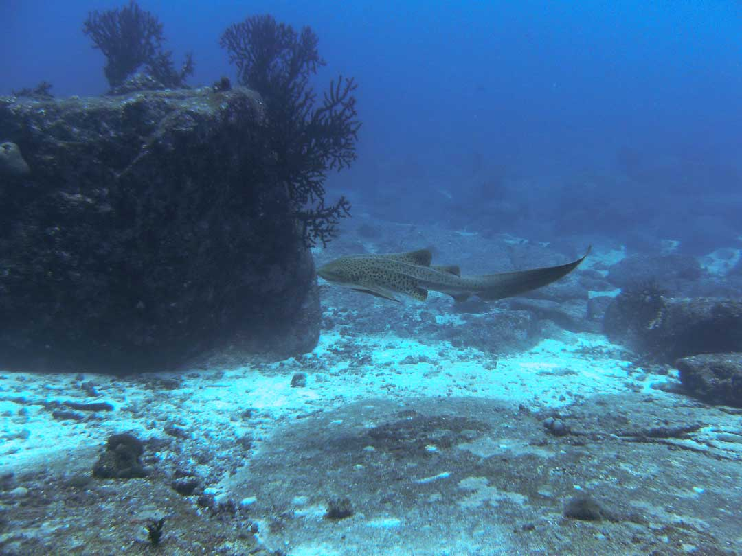 Zebra shark on the move at the Richelieu rock dive site