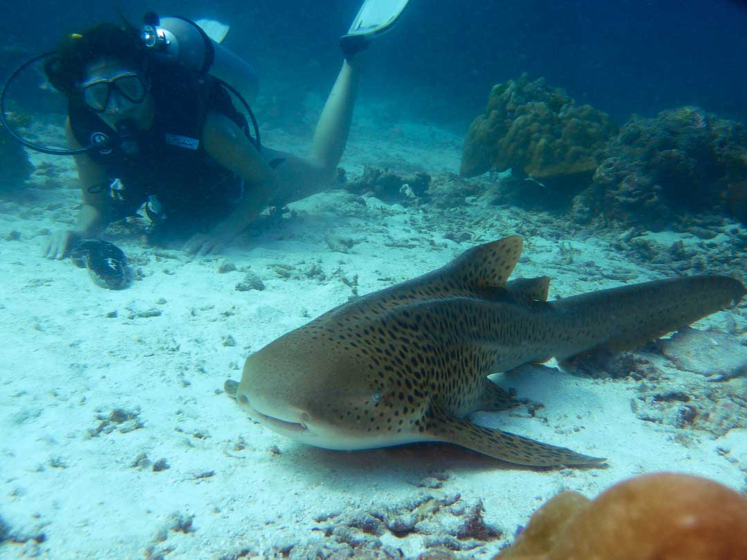 Leopard shark with diver at the Similan islands