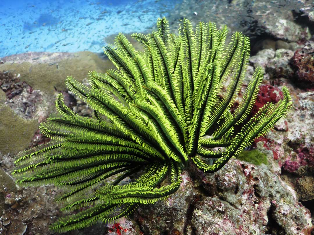 Long arm feather star waving in the currents at Koh Bon