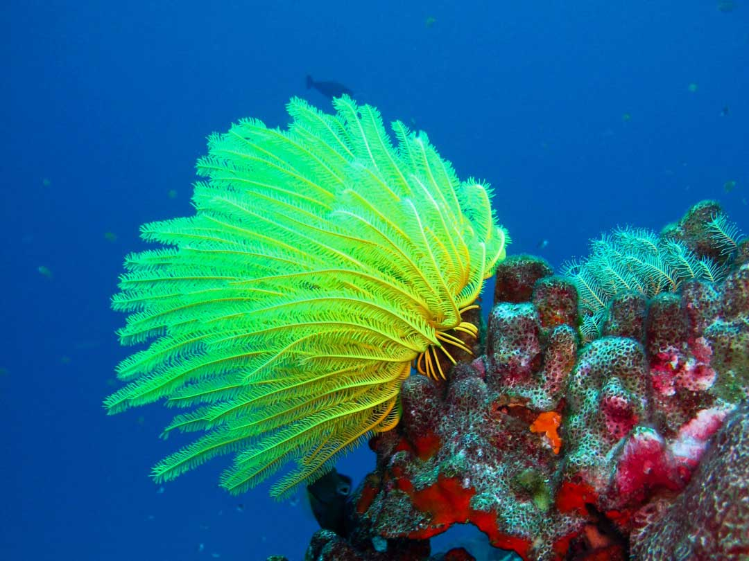 Long arm feather star