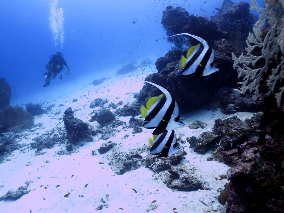 Longfin bannerfish at the Similan islands