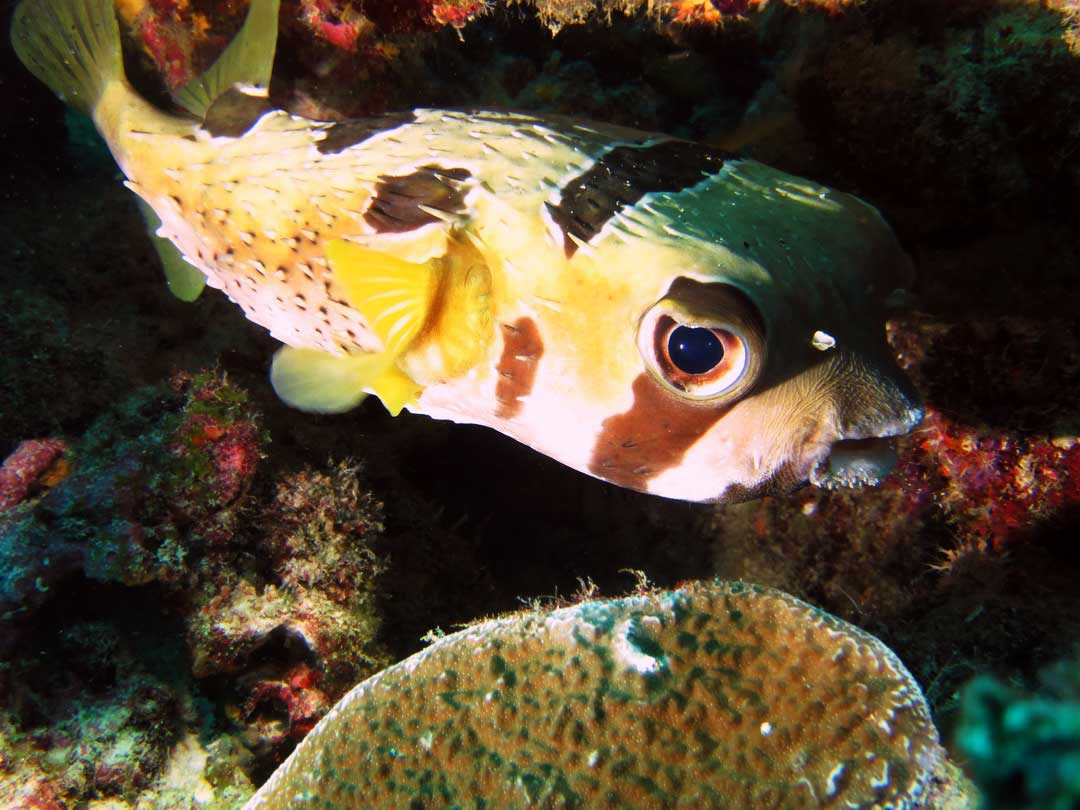 Masked porcupinefish at Koh Similan islands national park