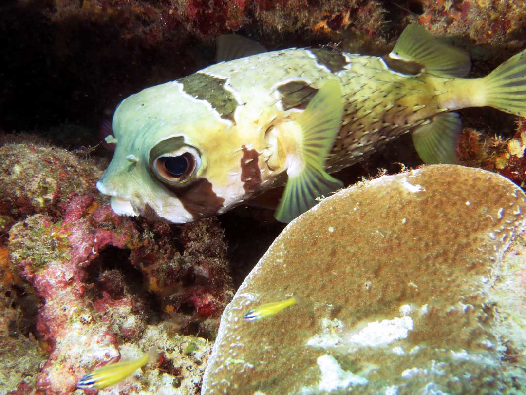 Scuba diving with the Masked porcupinefish at Koh Similan