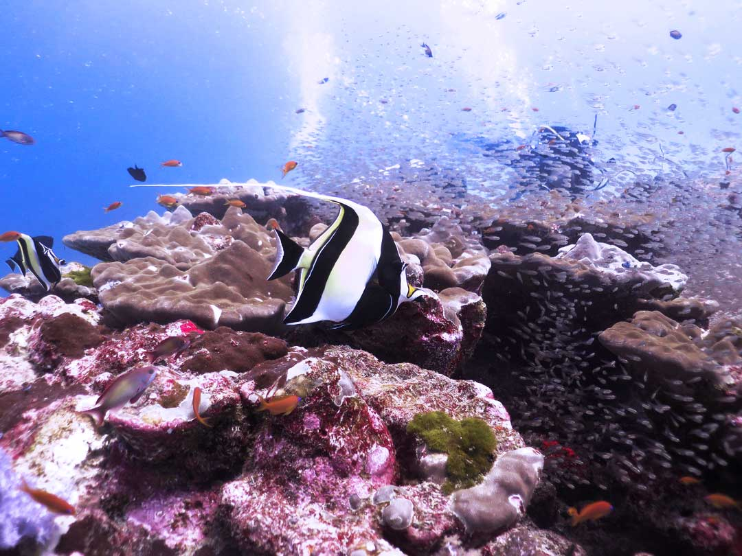 Moorish idol at Richelieu rock