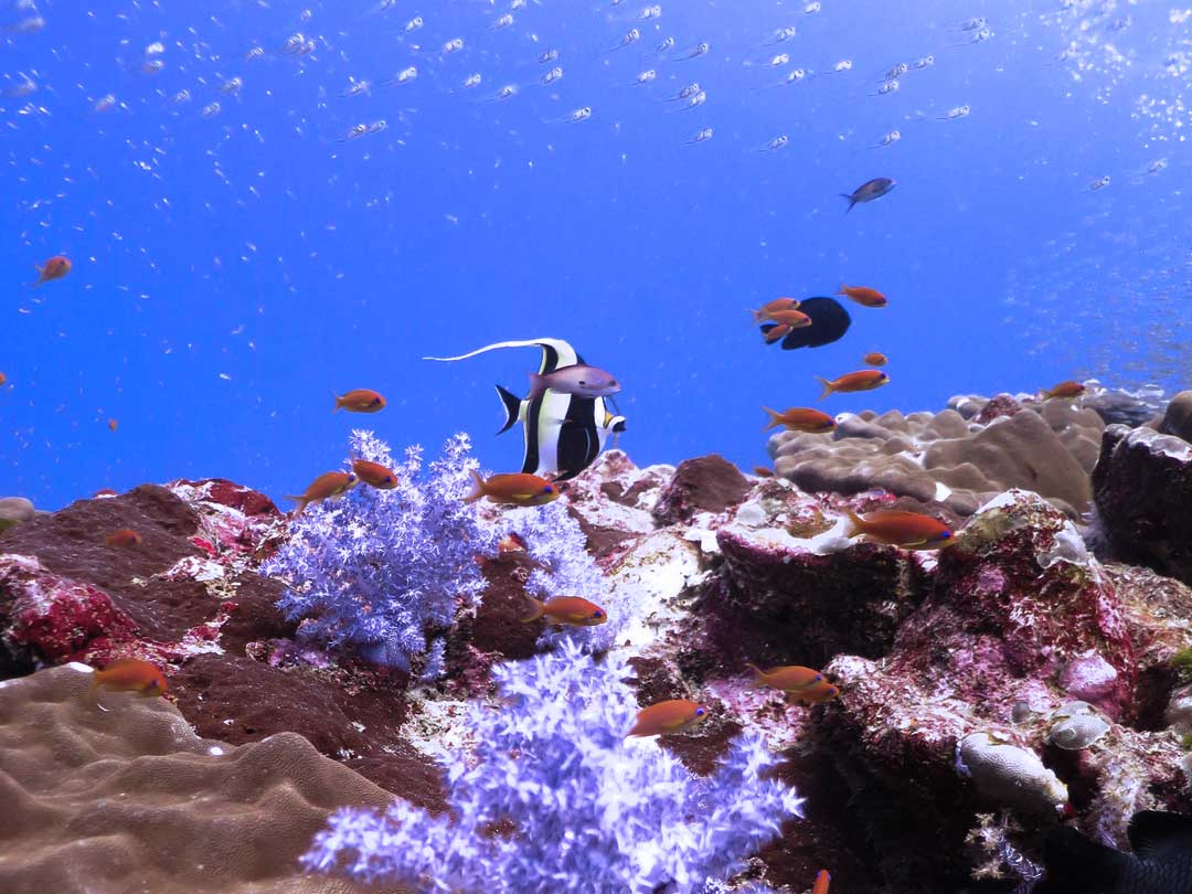 Moorish idol above the coral reefs at the Similan islands