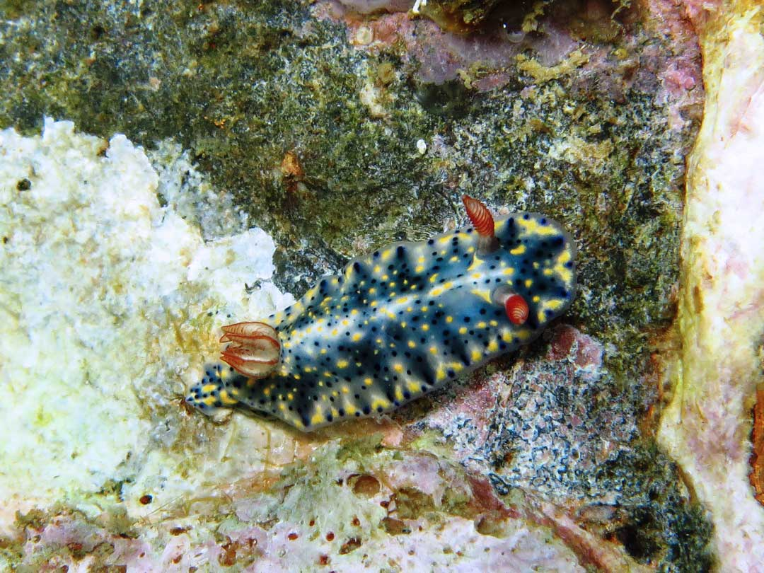 Nudibranch at Koh Tachai inside Similan islands national park