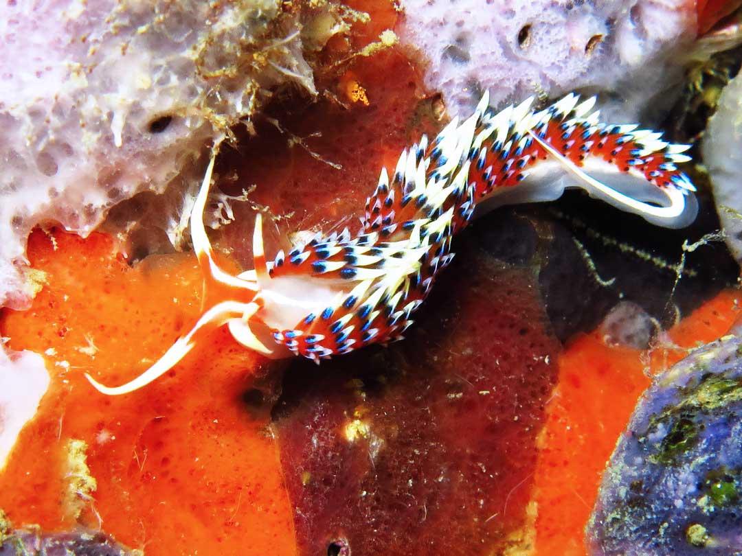 Nudibranch with Similan divers