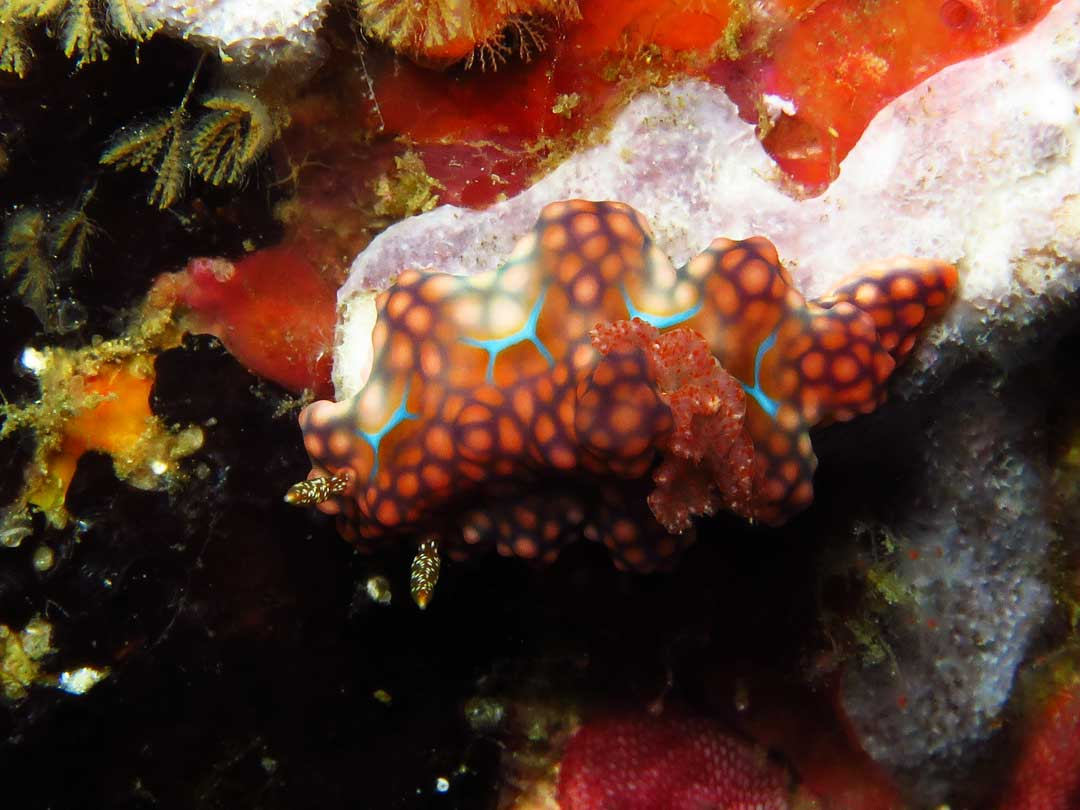 Nudibranch at The Surin islands Thailand