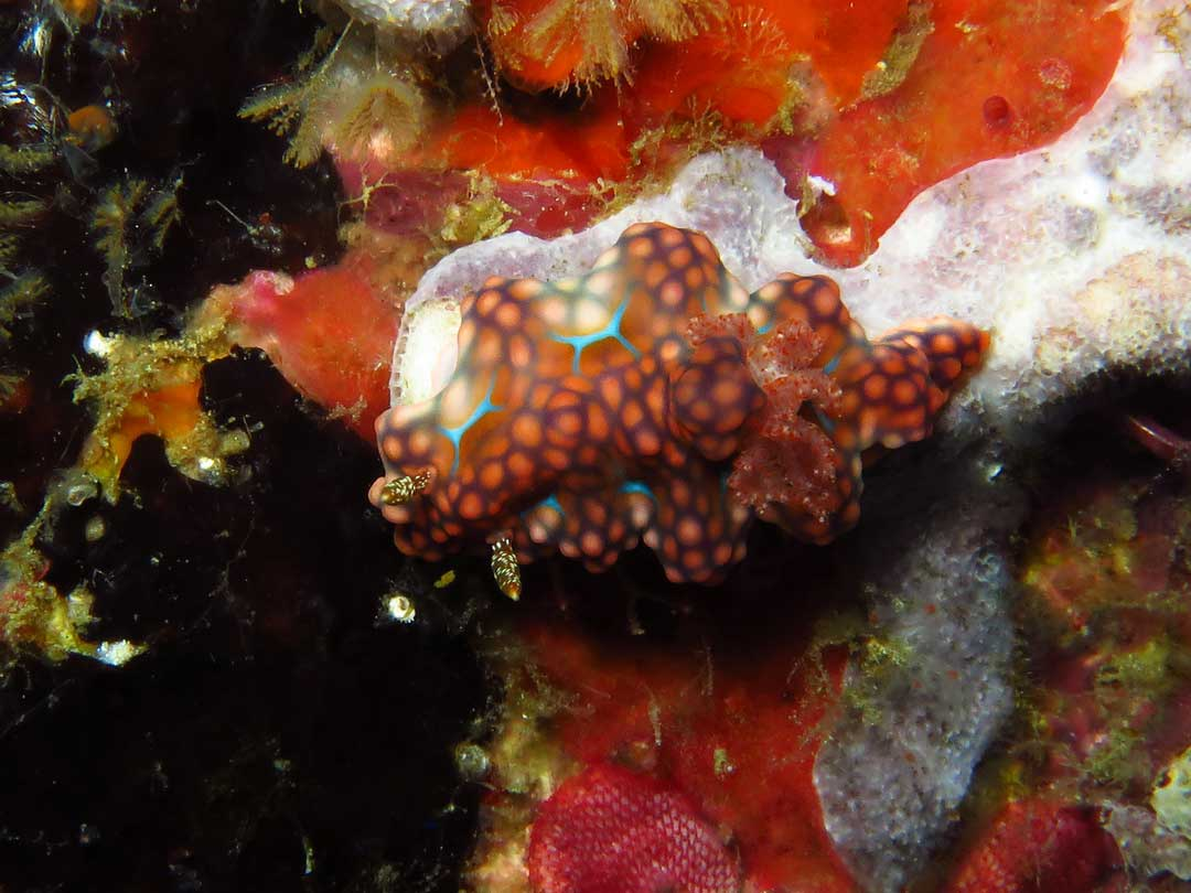 Nudibranch at Koh Surin Thailand