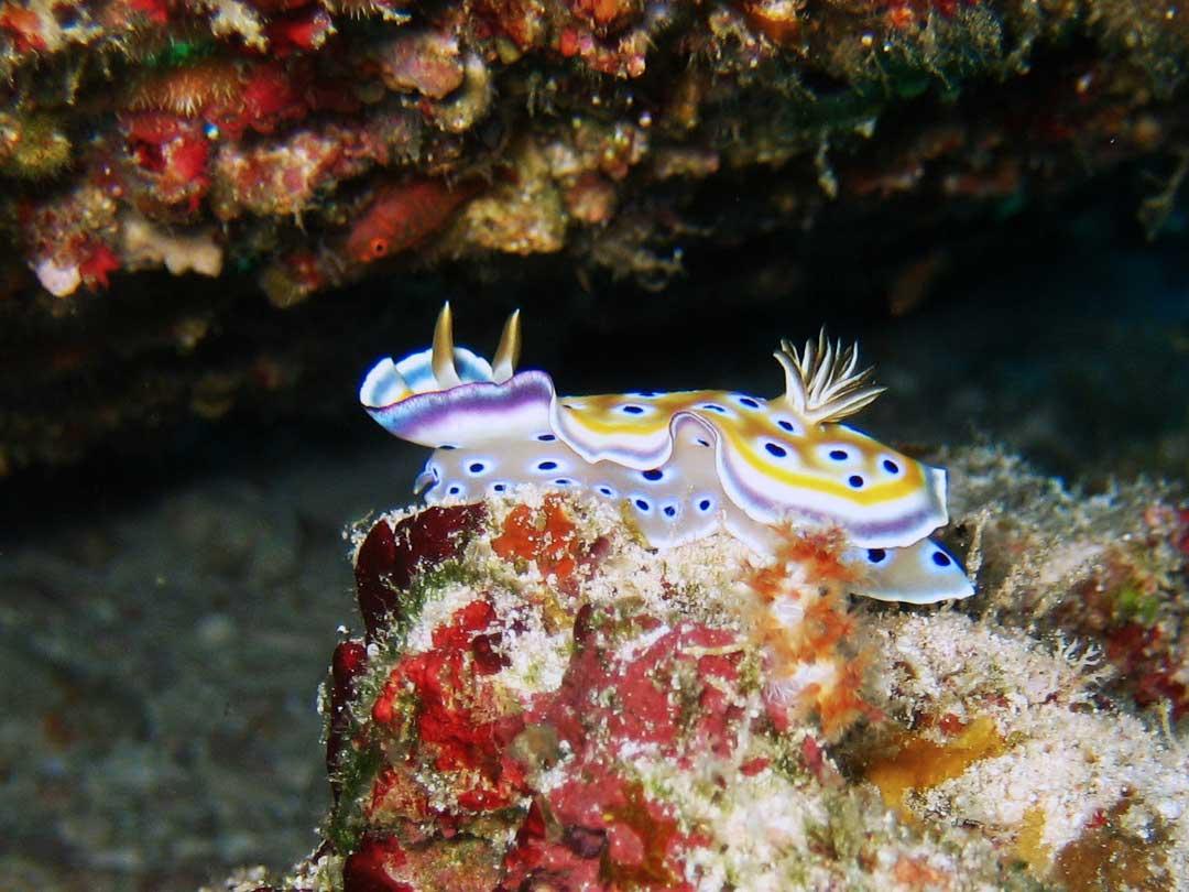 Nudibranch at the Koh Bon pinnacle