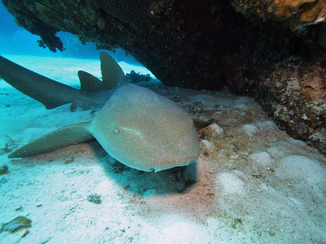 Nurse shark at the Koh Bon dive site