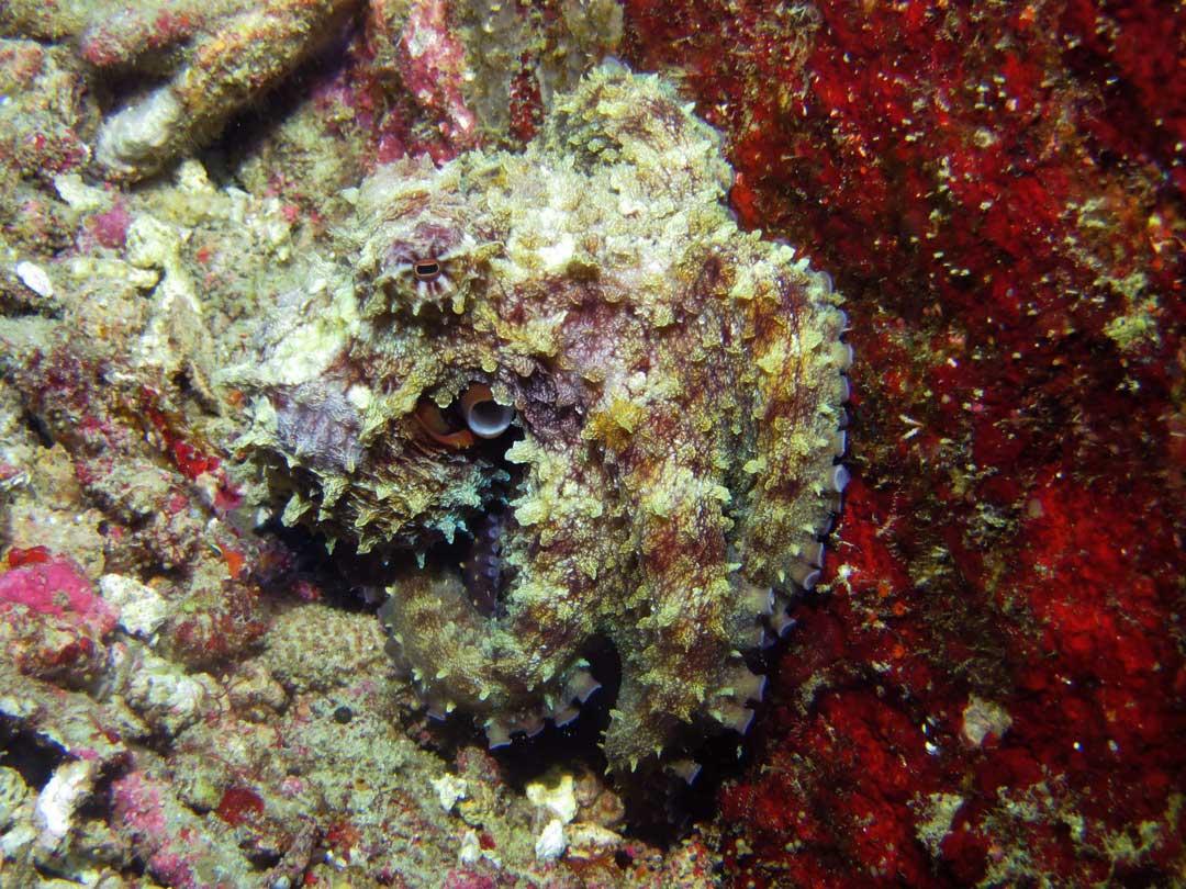 Reef octopus at koh Bon Pinacle