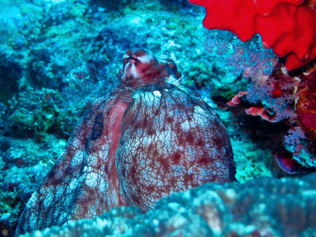 Reef octopus at the Koh Bon dive site inside the Similan islands national park