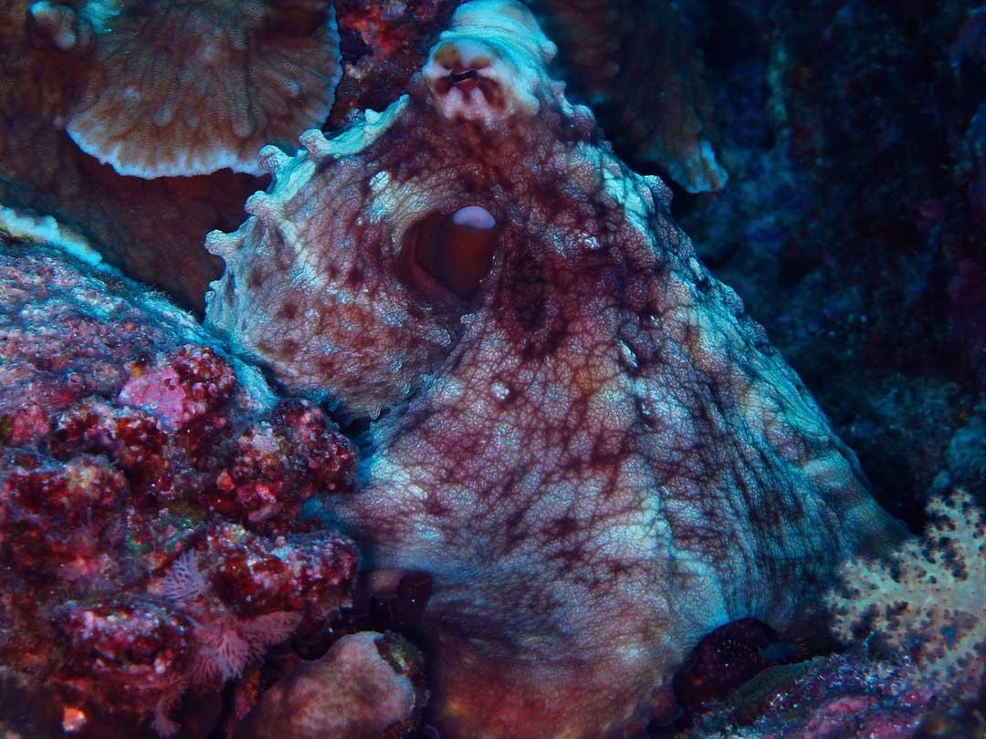 Reef octopus at Similan islands Thailand