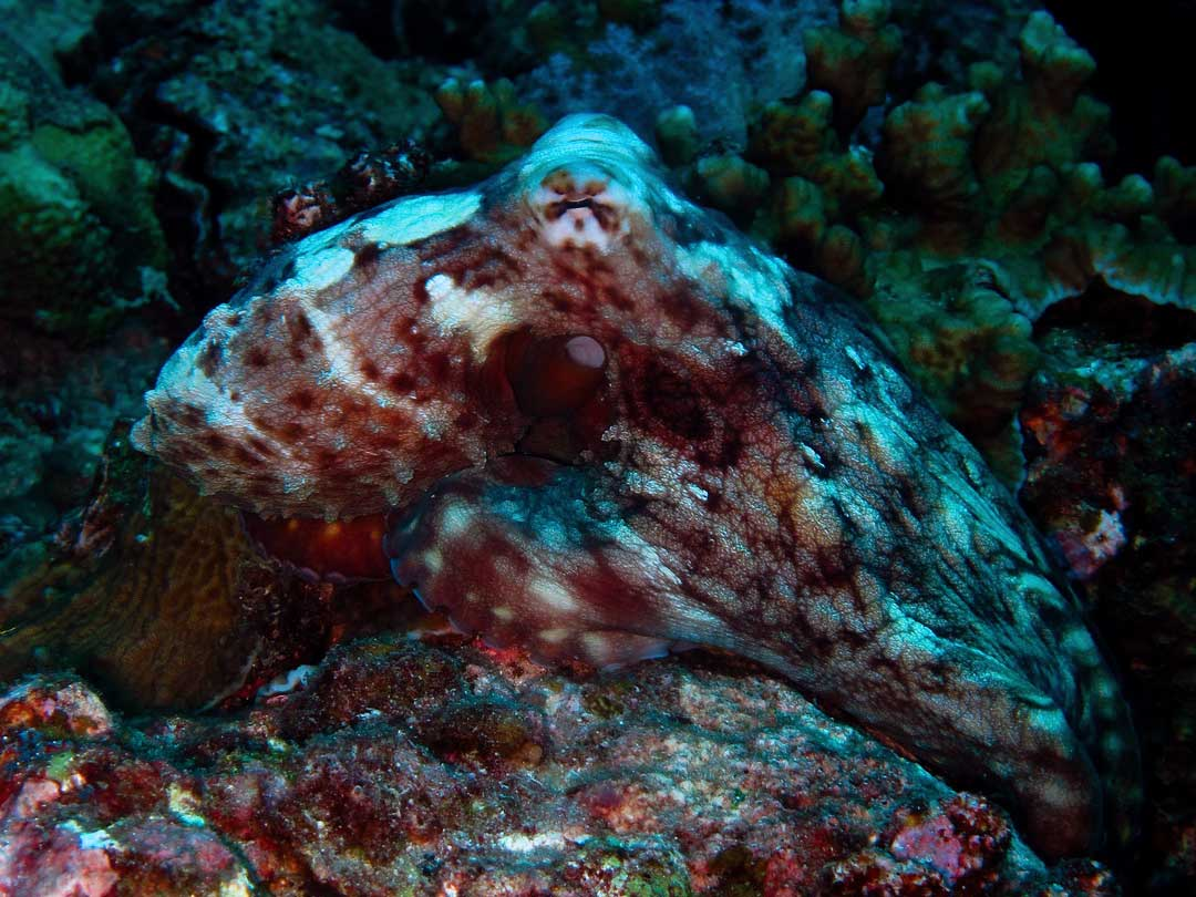 Reef octopus at the Similan islands Thailand