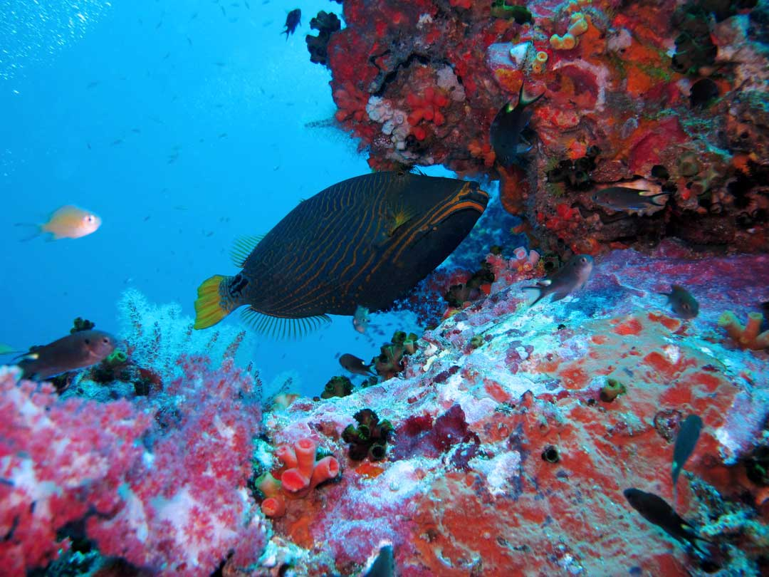 Orangelined Triggerfish at the Similan islands