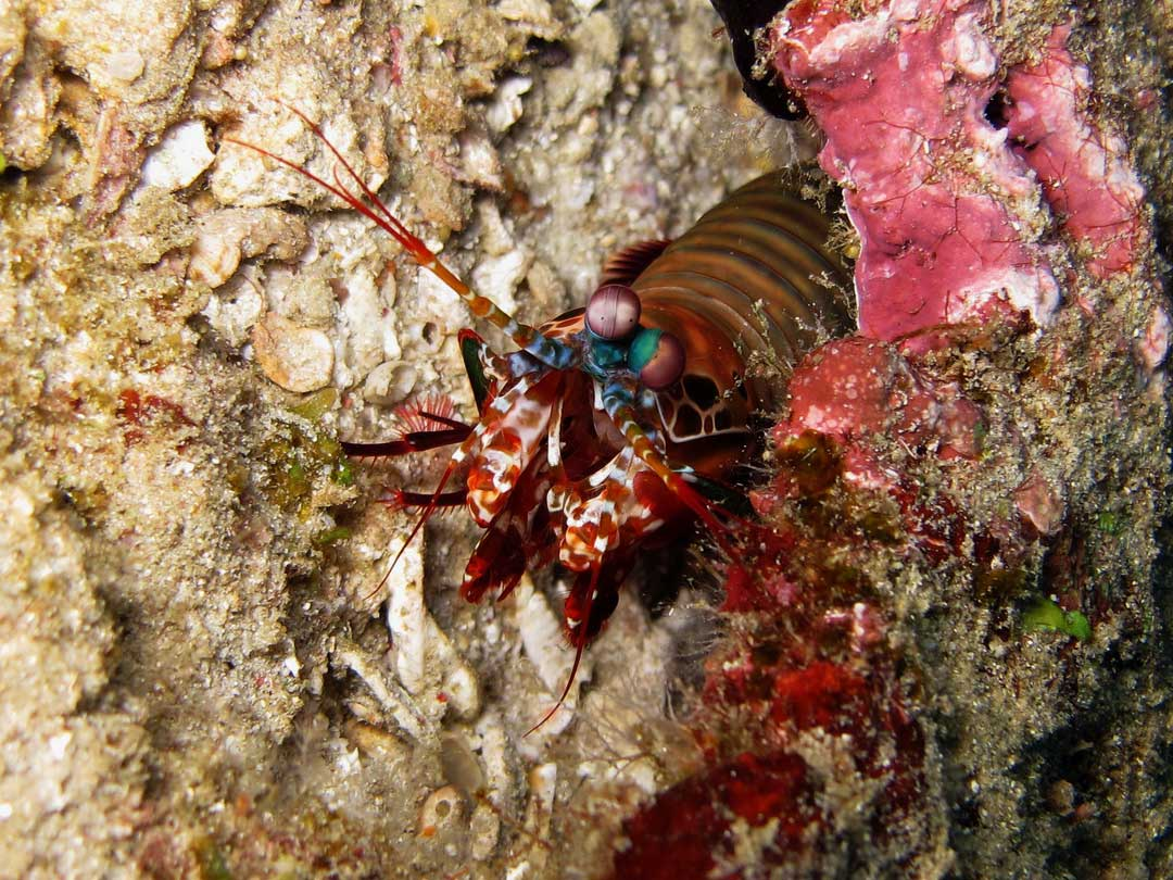 Get up close to the Peacock mantis shrimp at the Similan islands national park