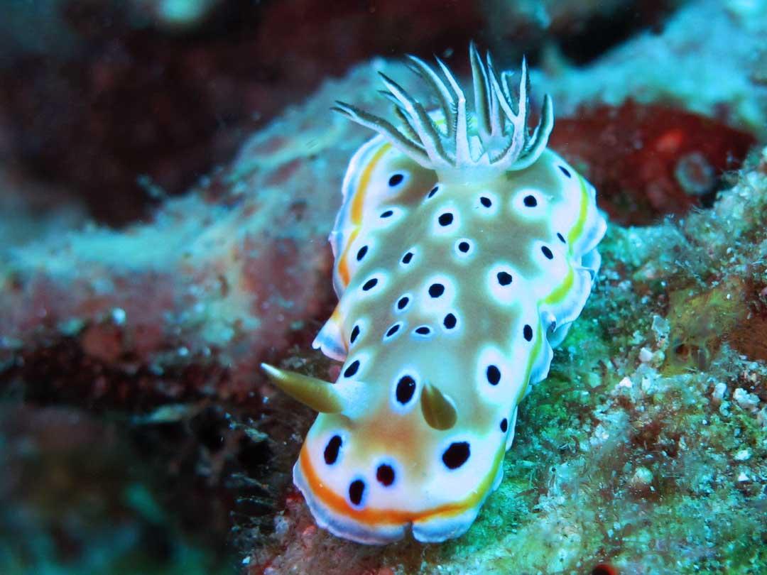 Get up close at the nudibranch at Premchai wreck