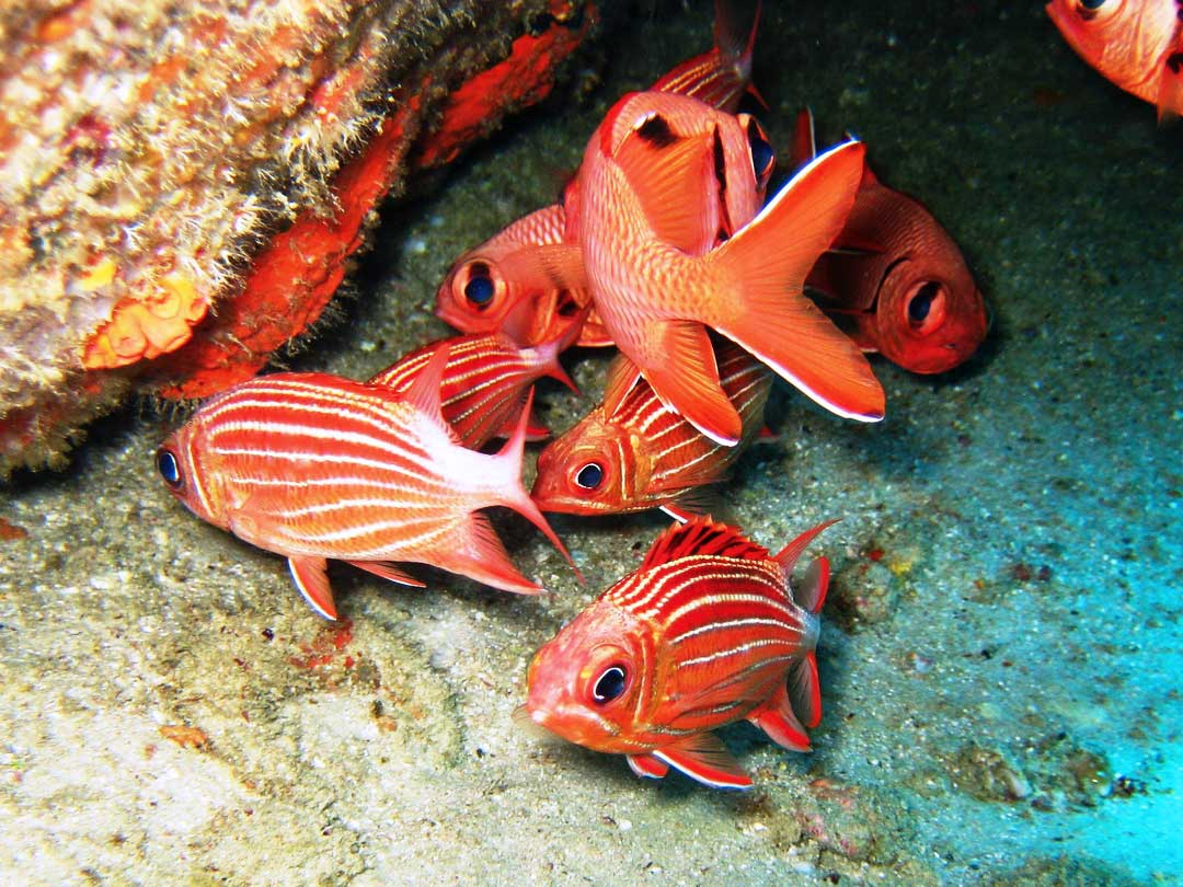 Redcoat squirrelfish under the reefs at Koh Similan