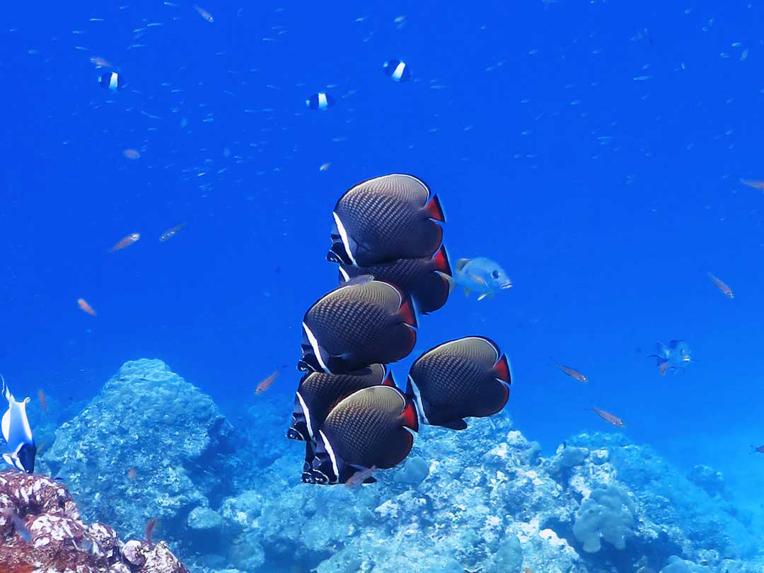See the redtail burrteflyfish on the Similan islands snorkeling daytrip