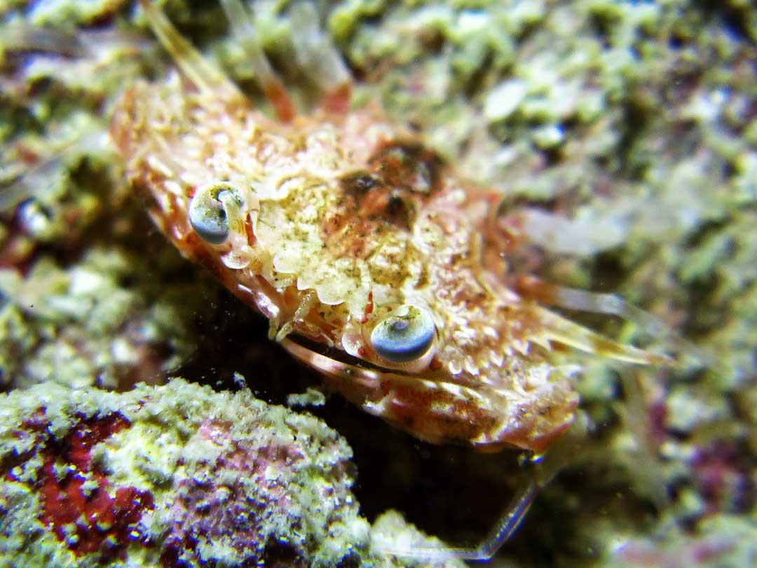 Reef crab at the coral reefs at the Similan islands
