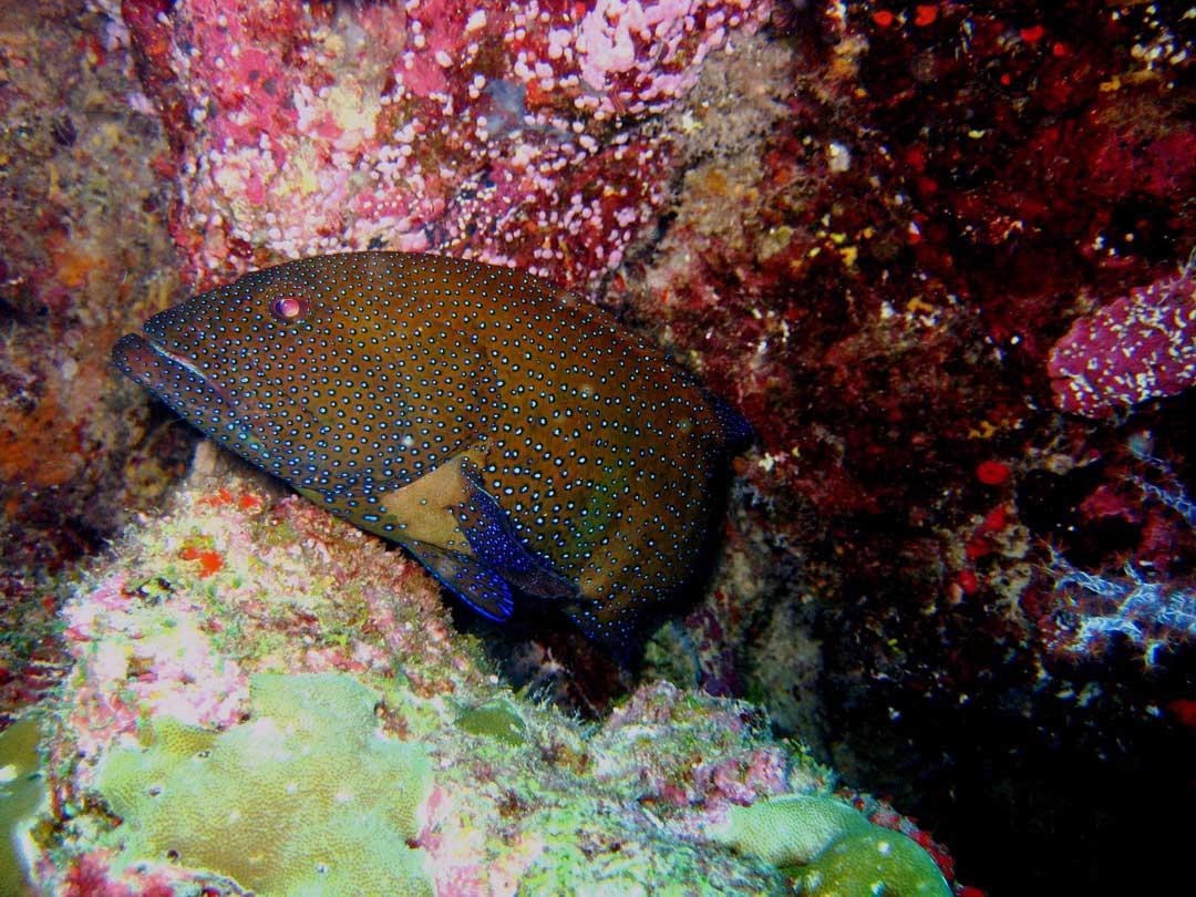 Grouper at the Richelieu rock reef