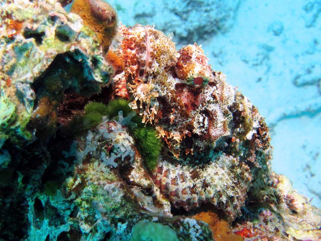 Close up at a beaded scorpionfish at Ko Similan