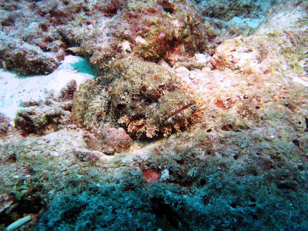 Great shot of a bearded scorpionfish at Similan islands national park dive site Koh Tachai