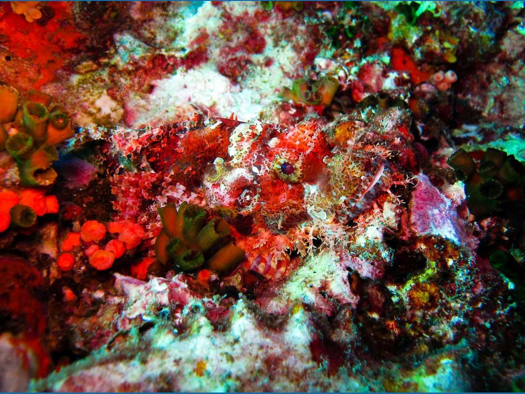 Bearded scorpionfish seen on a Richelieu rock diving daytrip