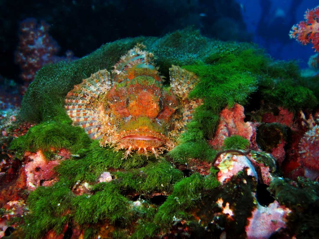 Nice shot of a bearded scorpionfish at the Similan islands Thailand