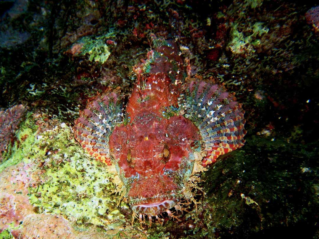 Bearded scorpionfish on the reef at the Similan islands national park