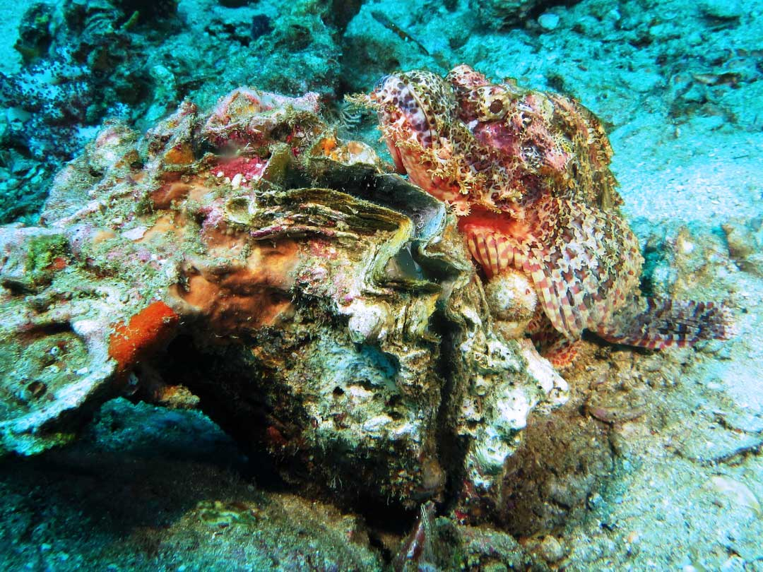 Bearded scorpionfish at the reefs of the Similan islands