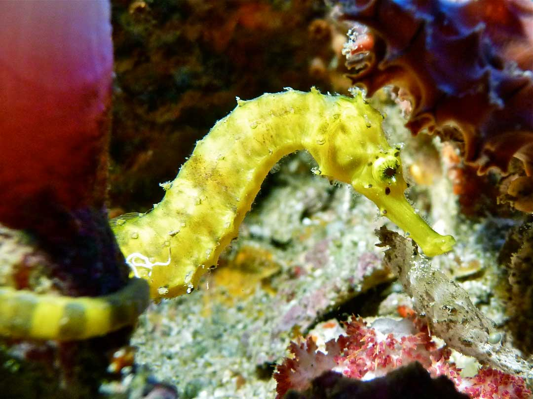 Close up of a Tigertail seahorse at Richelieu rock Thailand
