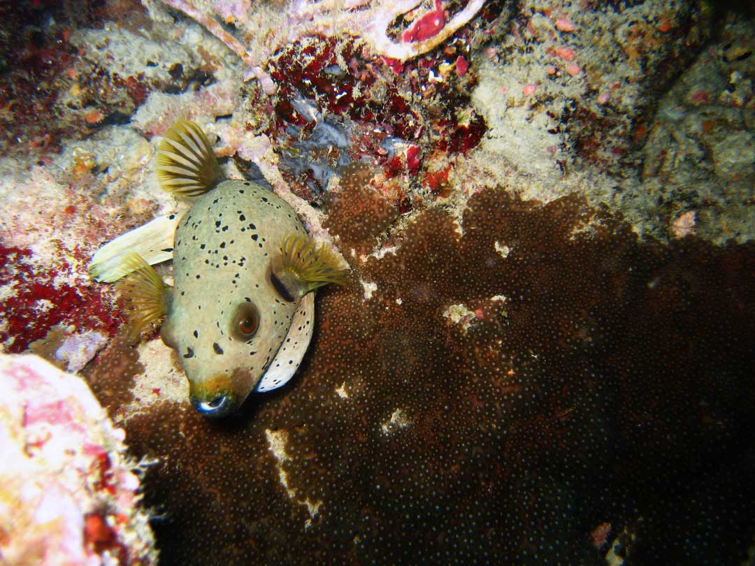 Seal faced pufferfish at the Similan islands Thailand