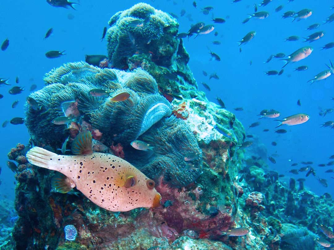 At the reefs of the Similan islands national park the seal faced pufferfish