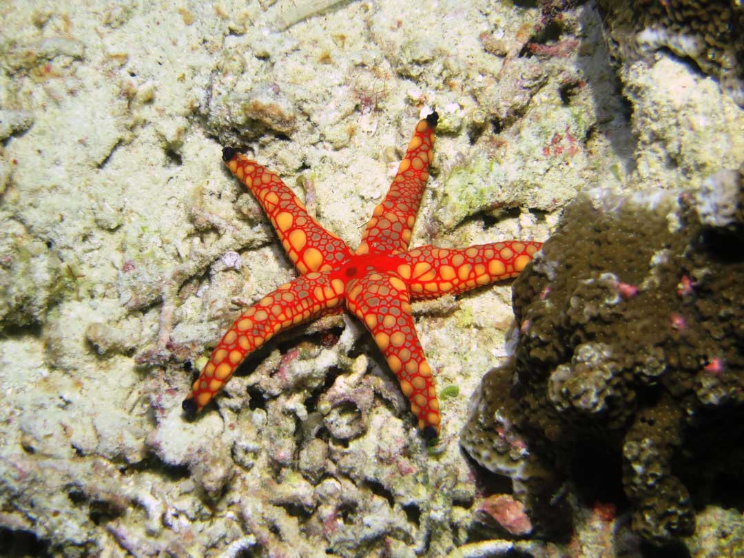 Sea star at Koh Bon at the Similan islands national park