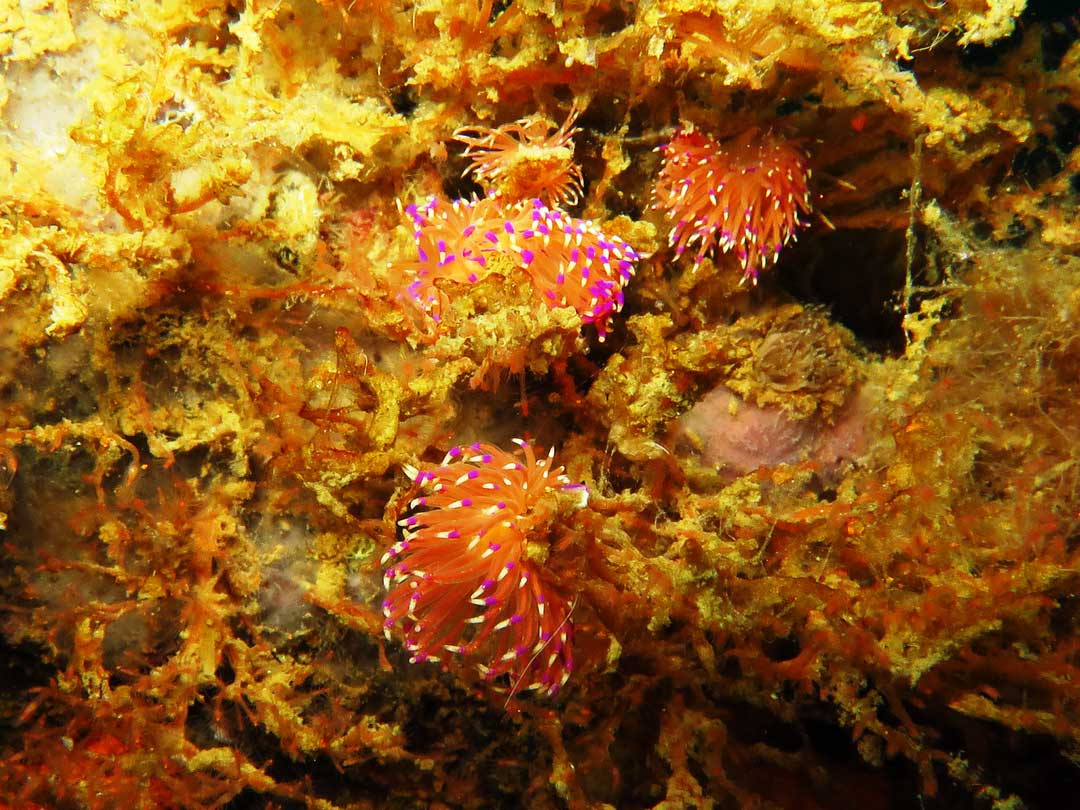 Nudibranchs at the Similan islands Thailand
