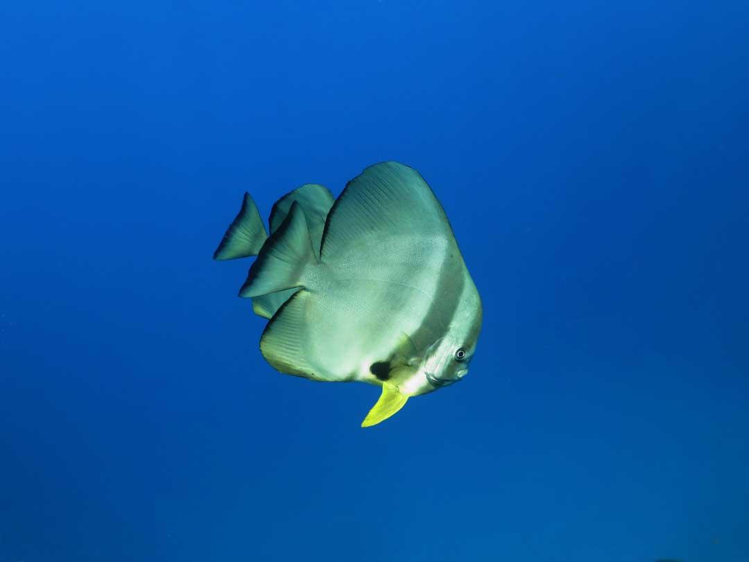 Go Similan diving and see the batfish