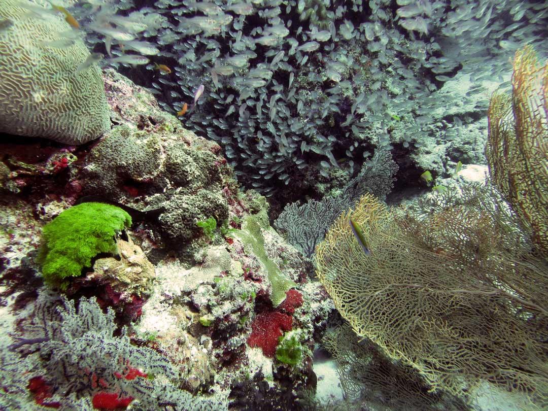 Similan islands corals