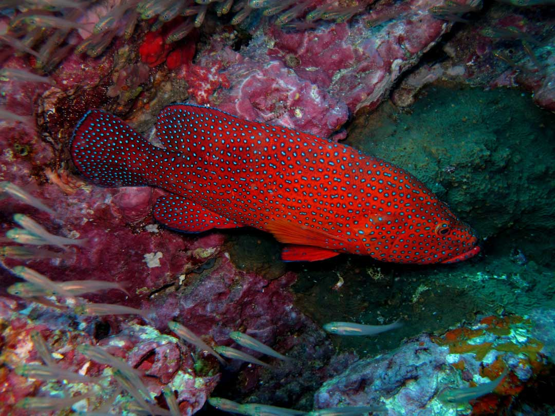 Diving with the coral grouper at the Similan islands
