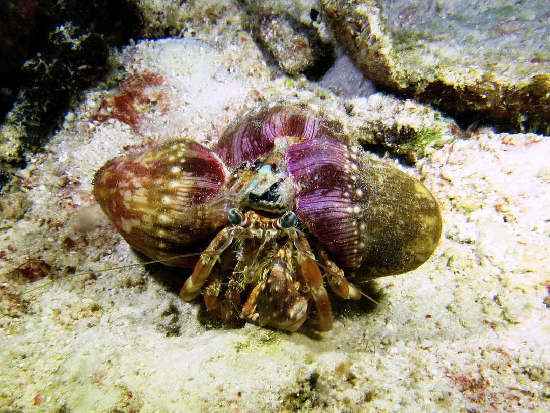 Hermit crab in his housing at the coral reefs at the Similan islands