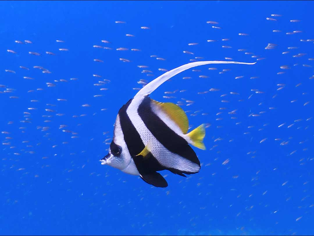 See the banner fish at Khao Lak dive site during your SSI open water diving course