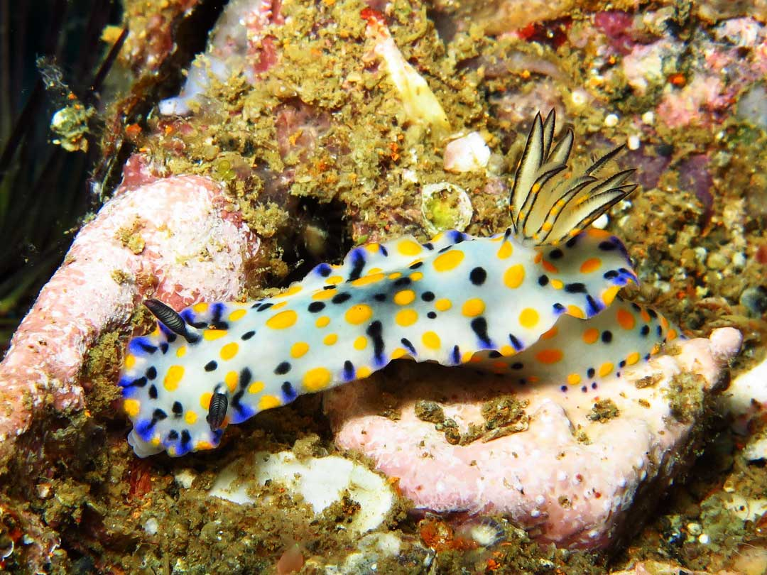 See the nudibranch on your Similan diving tour