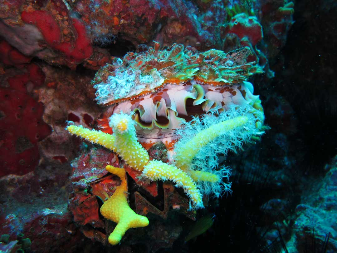 Soft coral at Koh Tachai coral reefs