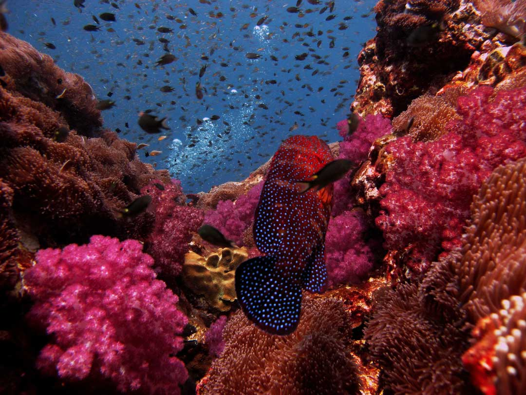 Richelieu rock soft coral garden