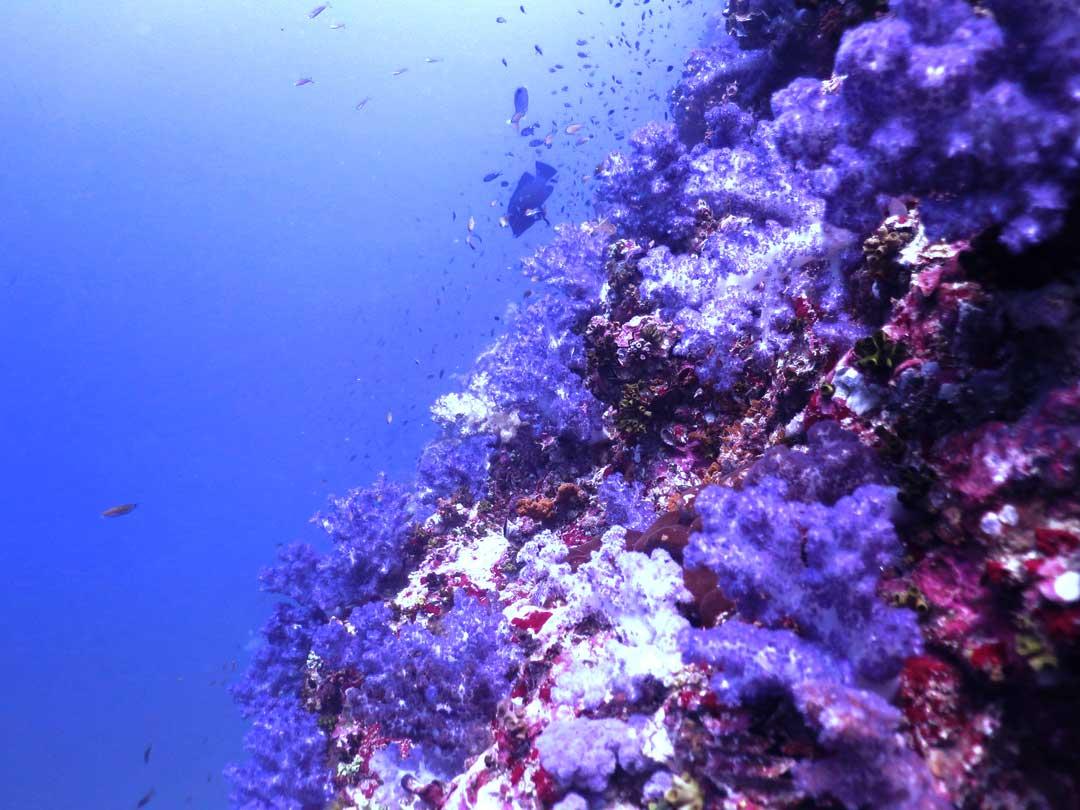 Soft coral wall at the Similan islands