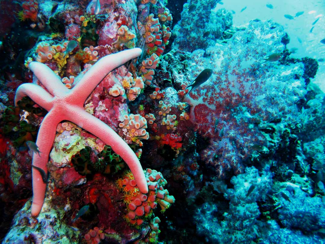 Starfish at Richelieu rock inside Surin islands national park
