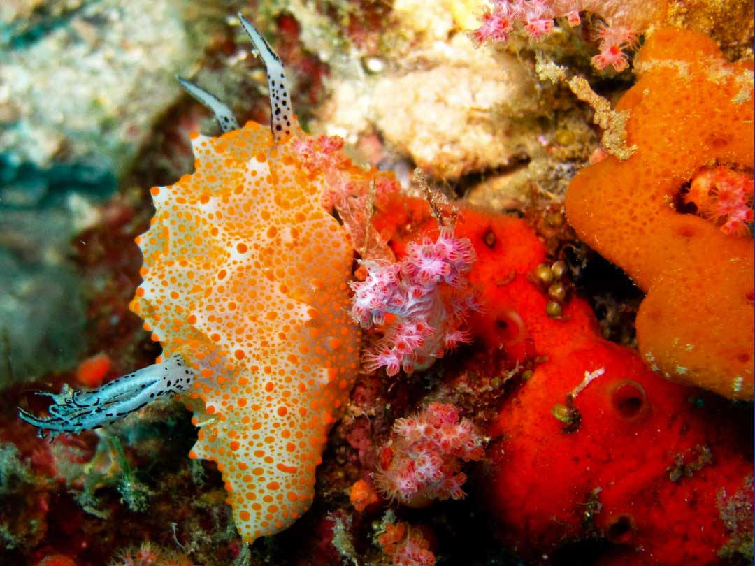 See the nudibranch on your diving trip at the Surin islands national park