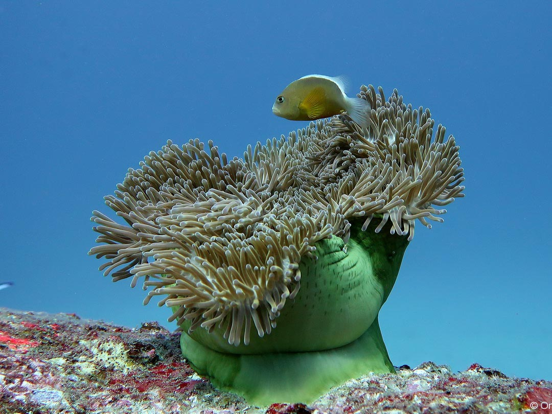 See the anemonefish on a Surin islands snorkeling daytrip
